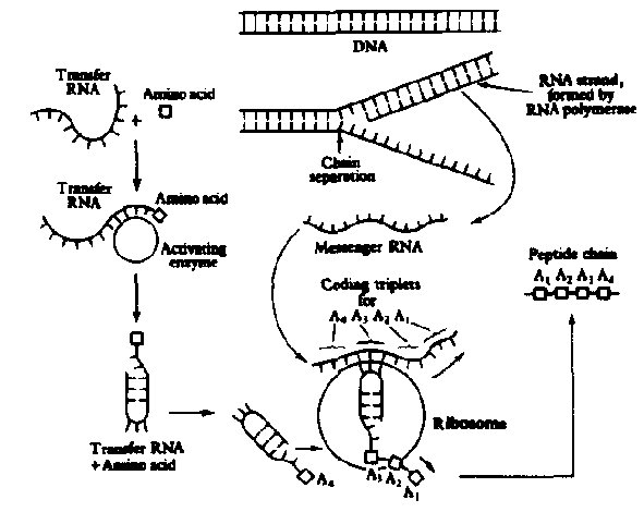 Simple Protein Synthesis